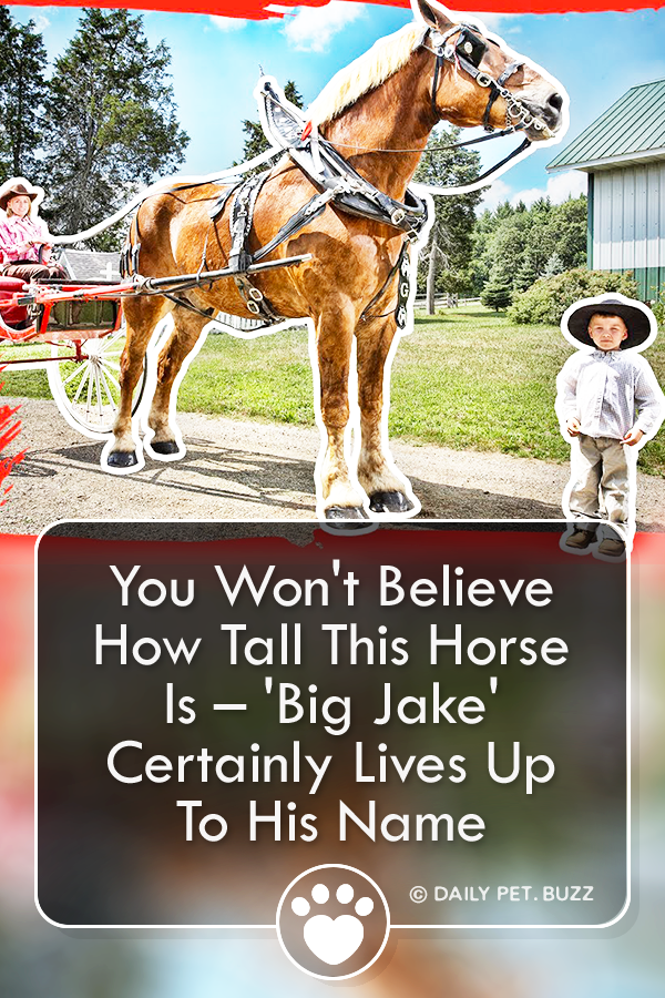 You Won\'t Believe How Tall This Horse Is – \'Big Jake\' Certainly Lives Up To His Name