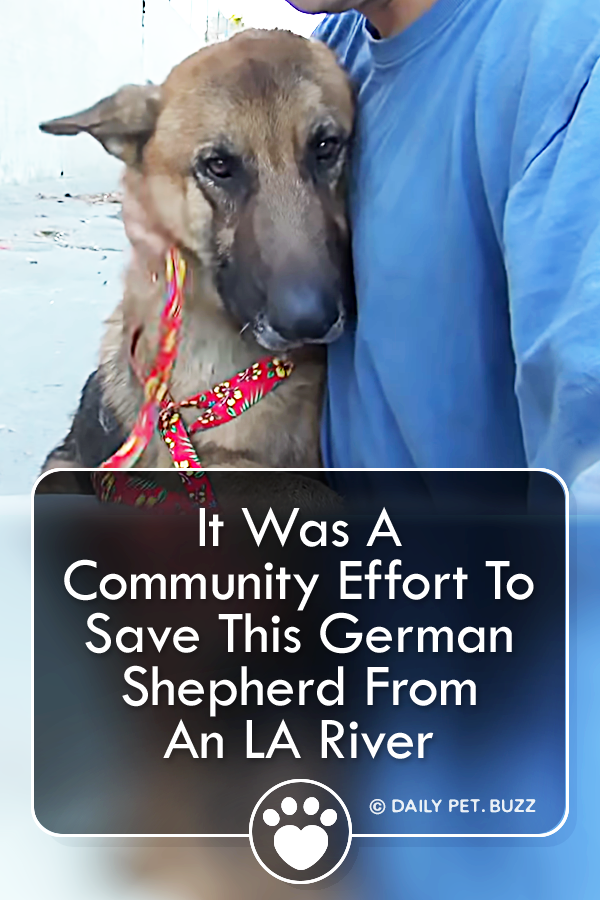 It Was A Community Effort To Save This German Shepherd From An LA River