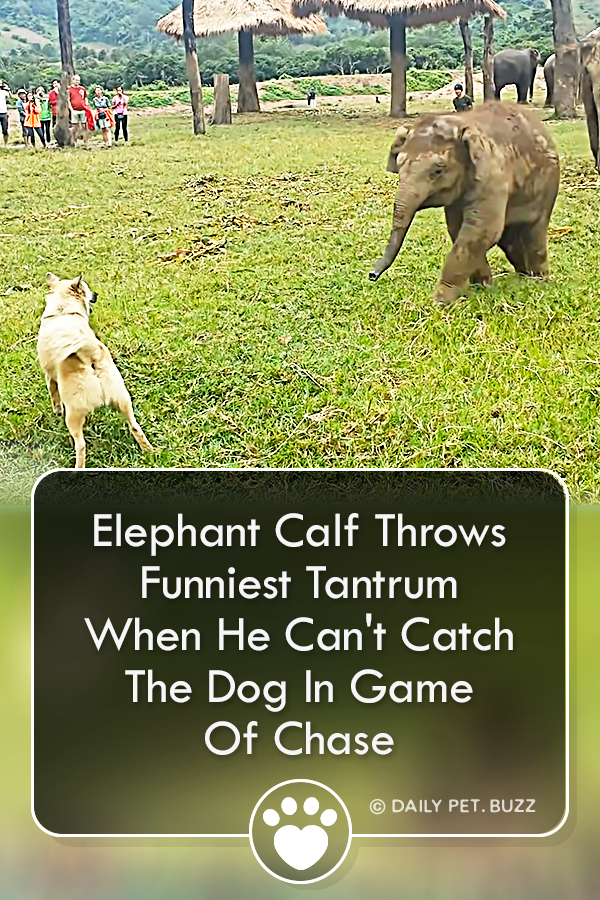 Elephant Calf Throws Funniest Tantrum When He Can\'t Catch The Dog In Game Of Chase