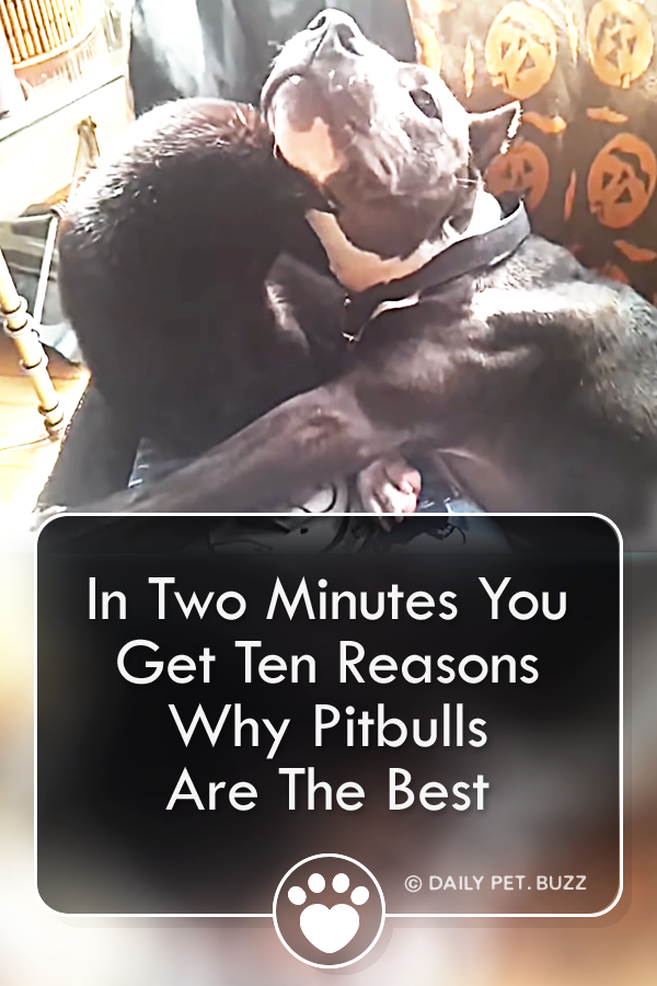 In Two Minutes You Get Ten Reasons Why Pitbulls Are The Best
