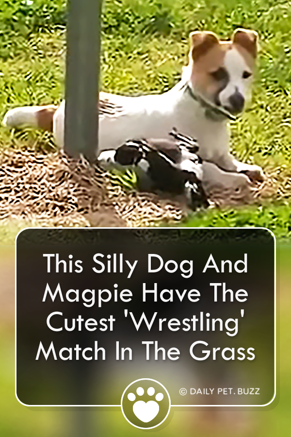 This Silly Dog And Magpie Have The Cutest \'Wrestling\' Match In The Grass