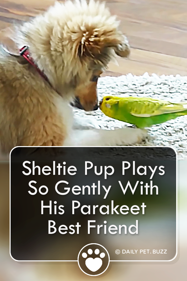 Sheltie Pup Plays So Gently With His Parakeet Best Friend