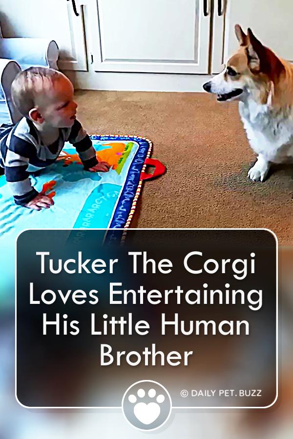 Tucker The Corgi Loves Entertaining His Little Human Brother