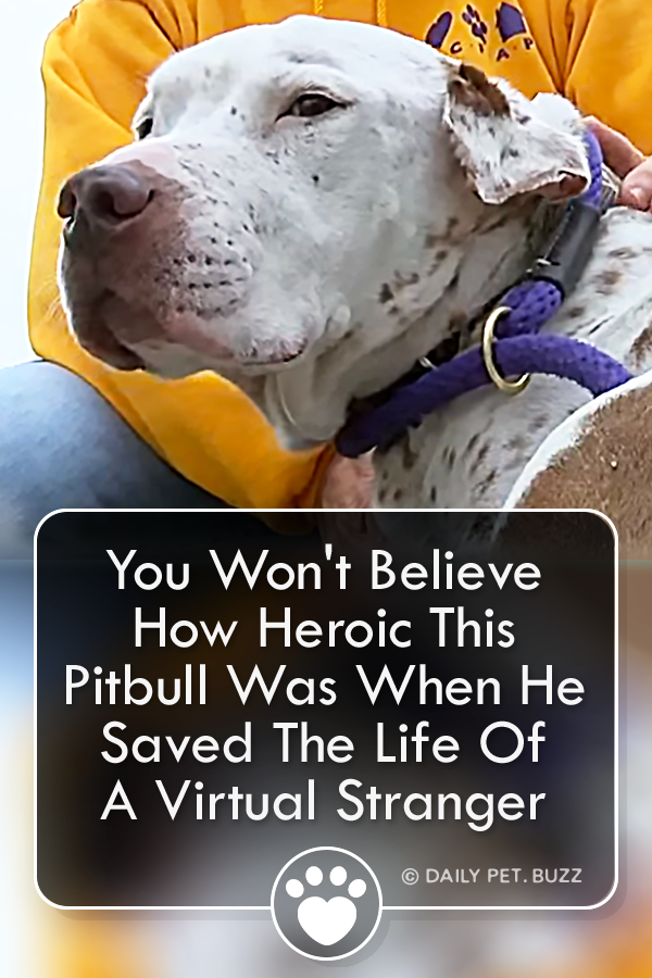 You Won\'t Believe How Heroic This Pitbull Was When He Saved The Life Of A Virtual Stranger