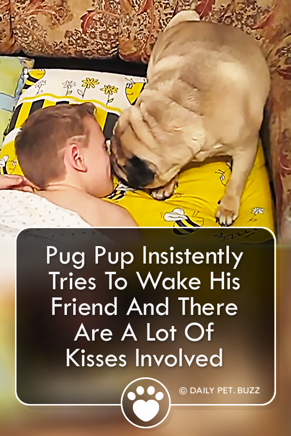 Pug Pup Insistently Tries To Wake His Friend And There Are A Lot Of Kisses Involved