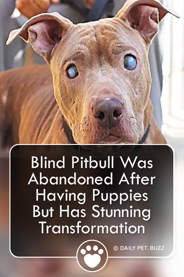 Blind Pitbull Was Abandoned After Having Puppies But Has Stunning Transformation
