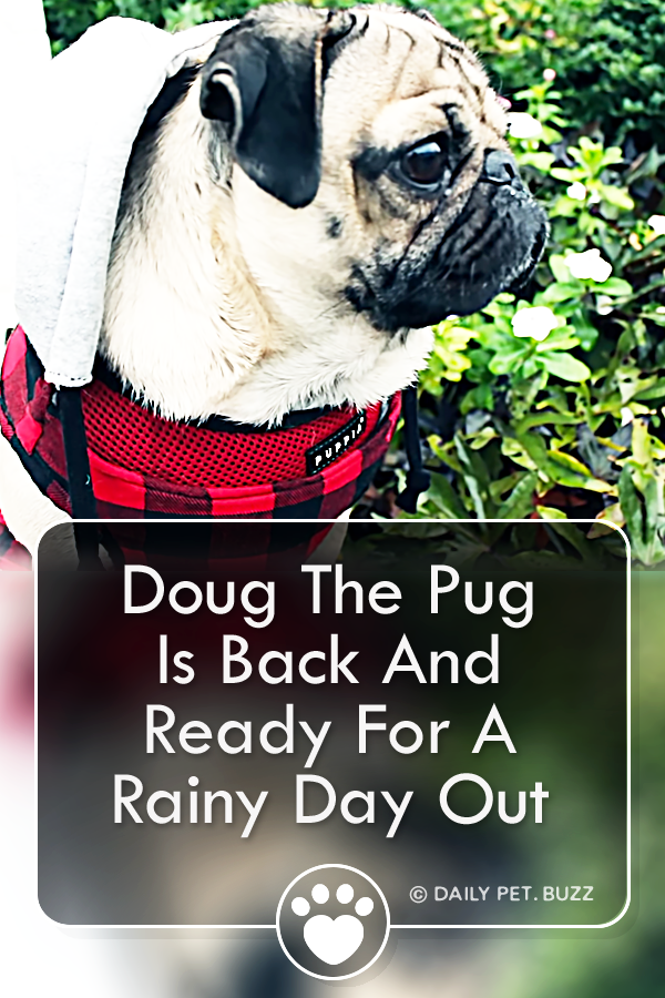 Doug The Pug Is Back And Ready For A Rainy Day Out