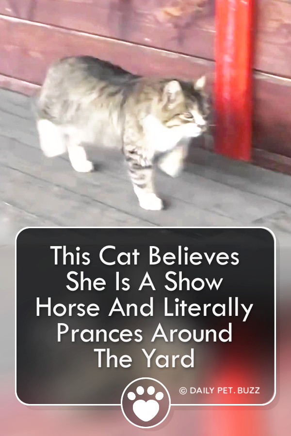 This Cat Believes She Is A Show Horse And Literally Prances Around The Yard