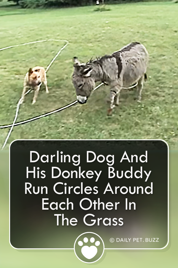 Darling Dog And His Donkey Buddy Run Circles Around Each Other In The Grass