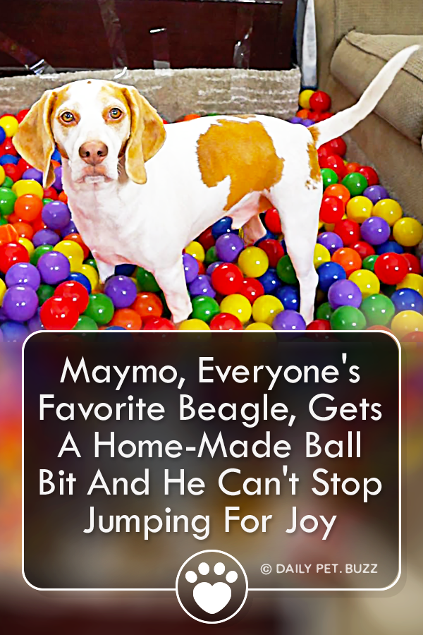 Maymo, Everyone\'s Favorite Beagle, Gets A Home-Made Ball Bit And He Can\'t Stop Jumping For Joy