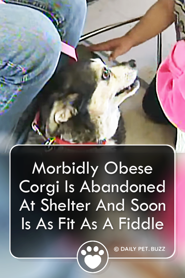 Morbidly Obese Corgi Is Abandoned At Shelter And Soon Is As Fit As A Fiddle