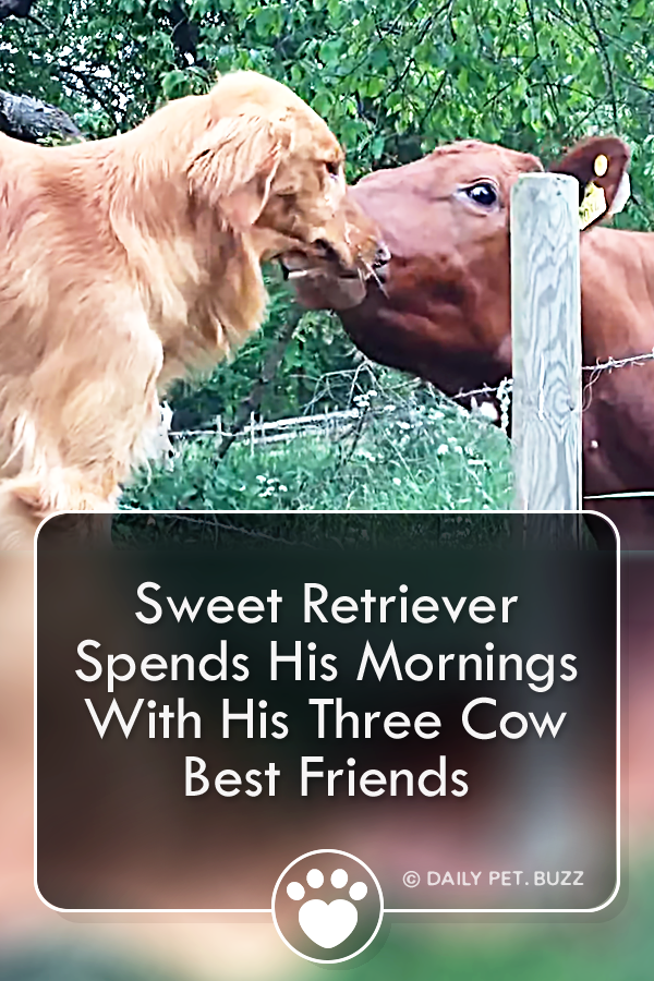 Sweet Retriever Spends His Mornings With His Three Cow Best Friends