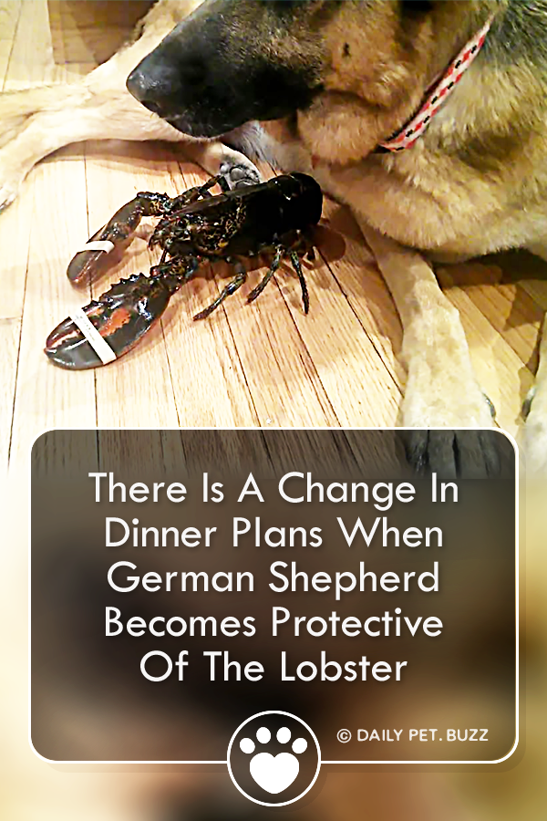 There Is A Change In Dinner Plans When German Shepherd Becomes Protective Of The Lobster