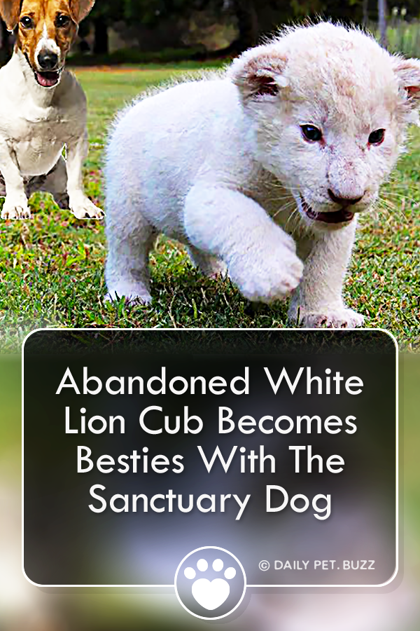 Abandoned White Lion Cub Becomes Besties With The Sanctuary Dog
