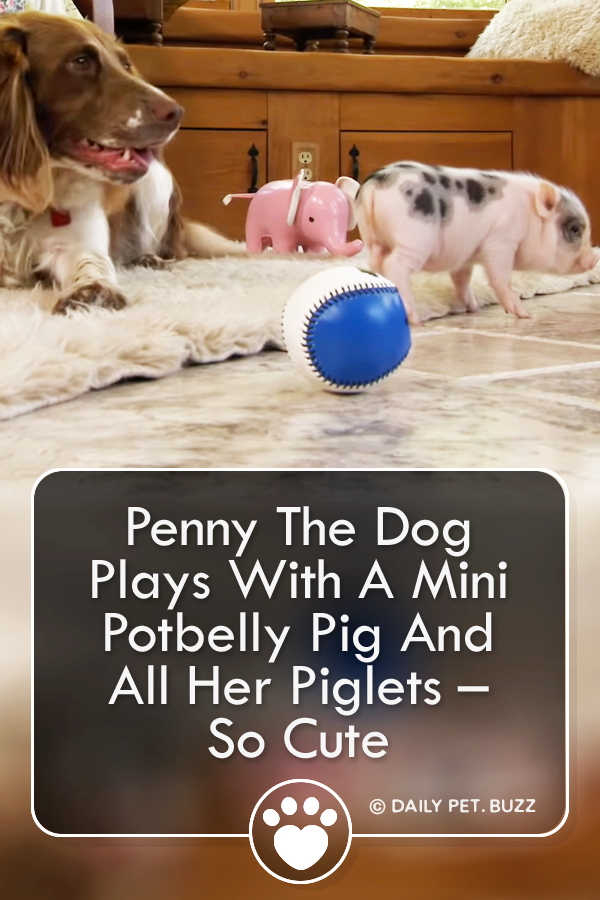 Penny The Dog Plays With A Mini Potbelly Pig And All Her Piglets – So Cute