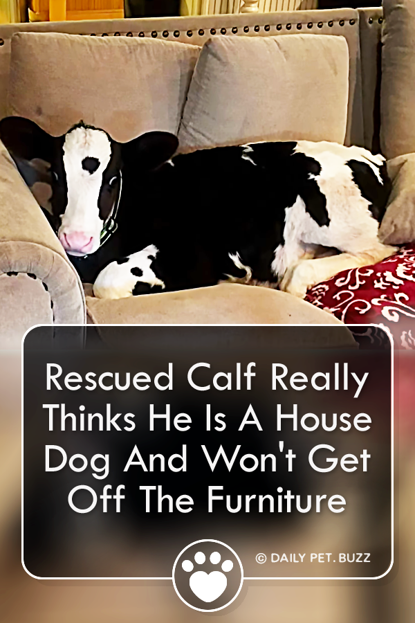 Rescued Calf Really Thinks He Is A House Dog And Won\'t Get Off The Furniture