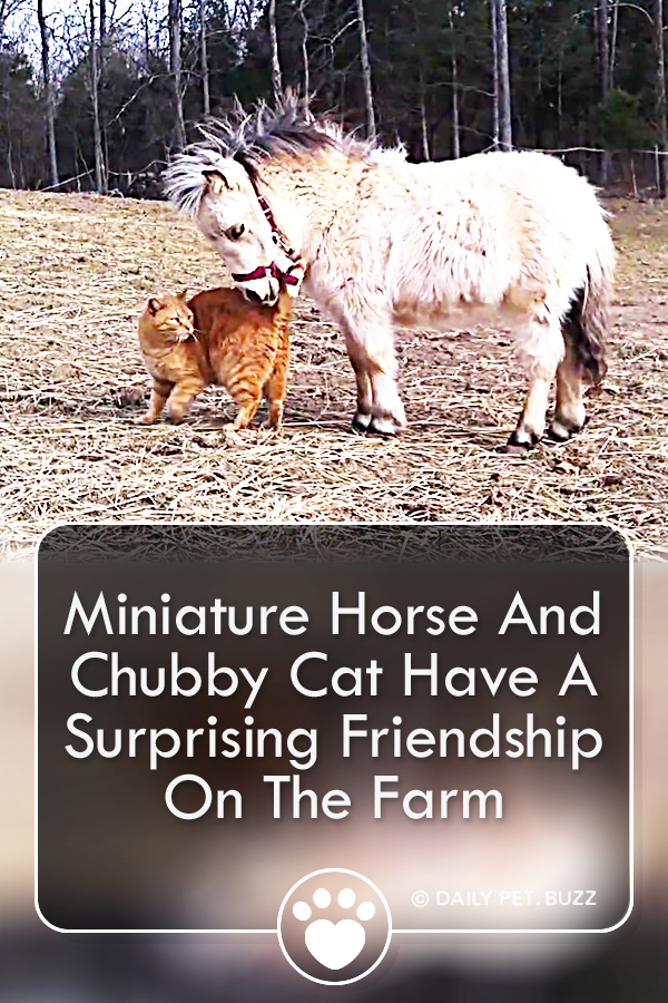 Miniature Horse And Chubby Cat Have A Surprising Friendship On The Farm
