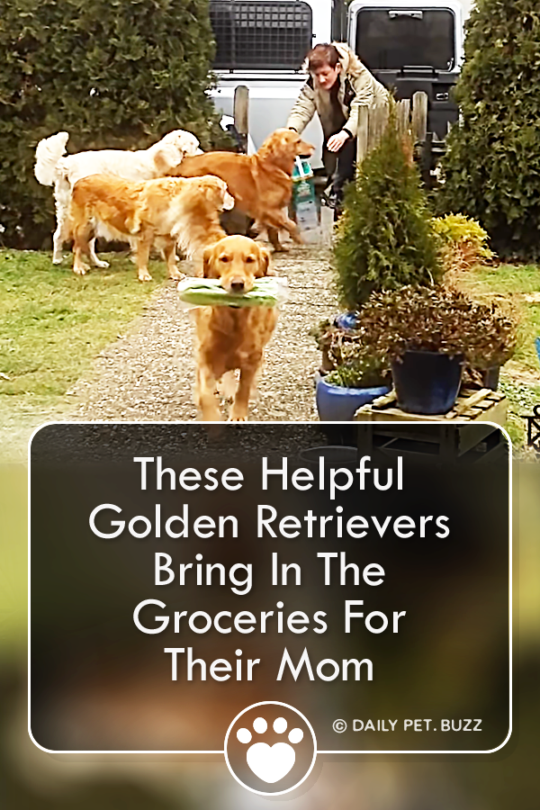 These Helpful Golden Retrievers Bring In The Groceries For Their Mom