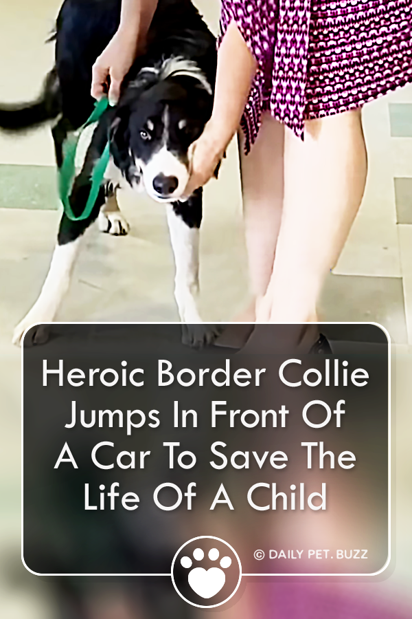 Heroic Border Collie Jumps In Front Of A Car To Save The Life Of A Child