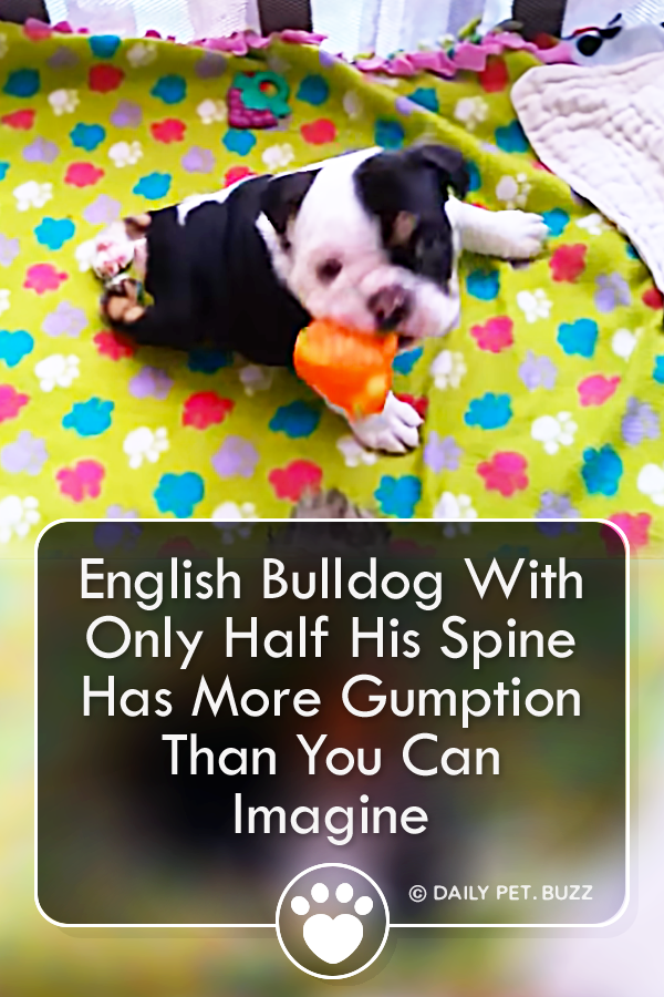 English Bulldog With Only Half His Spine Has More Gumption Than You Can Imagine