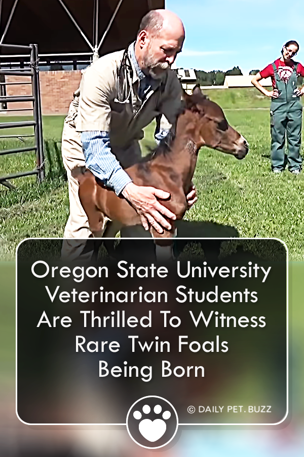 Oregon State University Veterinarian Students Are Thrilled To Witness Rare Twin Foals Being Born