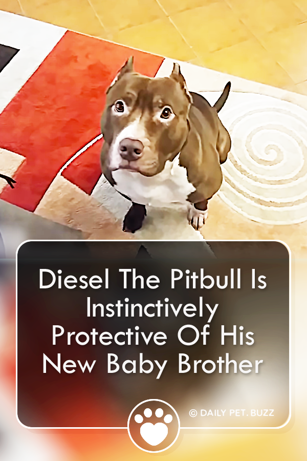 Diesel The Pitbull Is Instinctively Protective Of His New Baby Brother