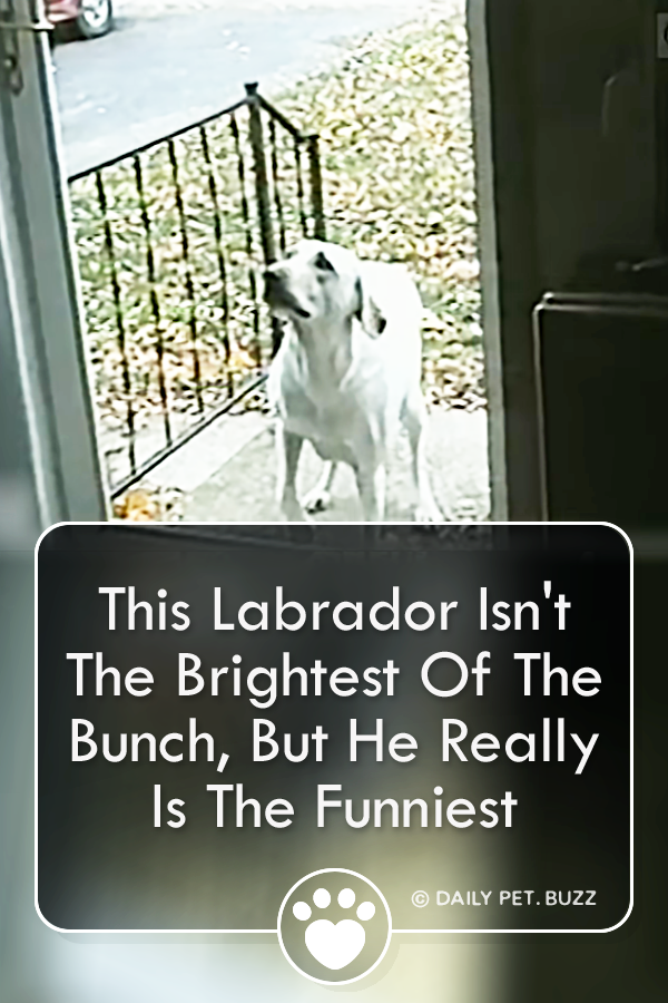 This Labrador Isn\'t The Brightest Of The Bunch, But He Really Is The Funniest