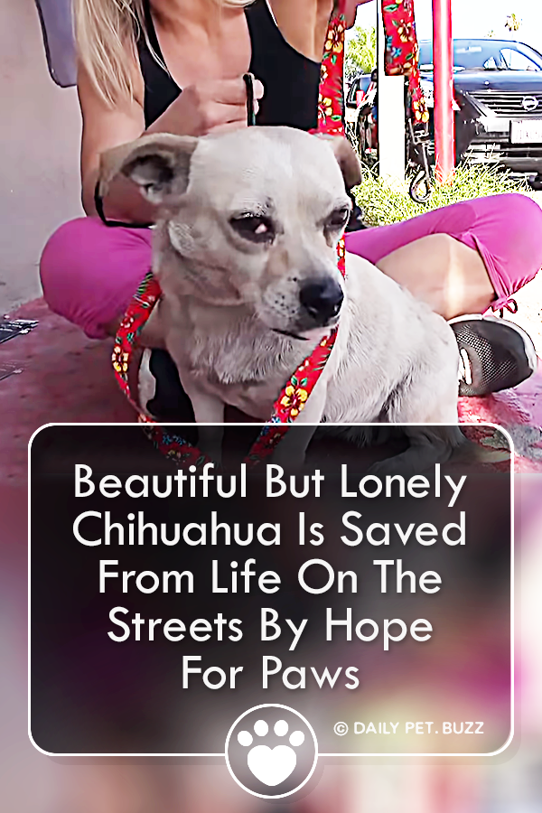 Beautiful But Lonely Chihuahua Is Saved From Life On The Streets By Hope For Paws