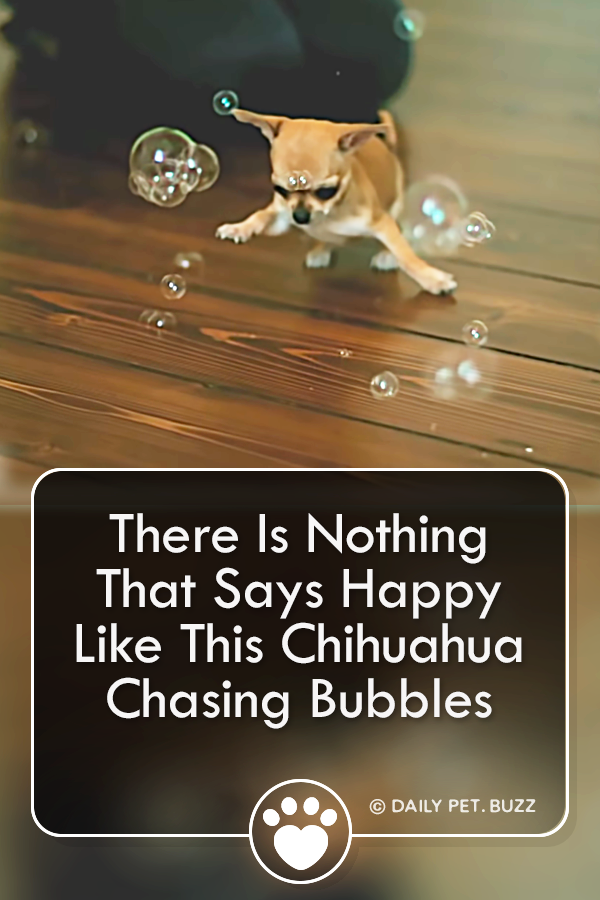 There Is Nothing That Says Happy Like This Chihuahua Chasing Bubbles