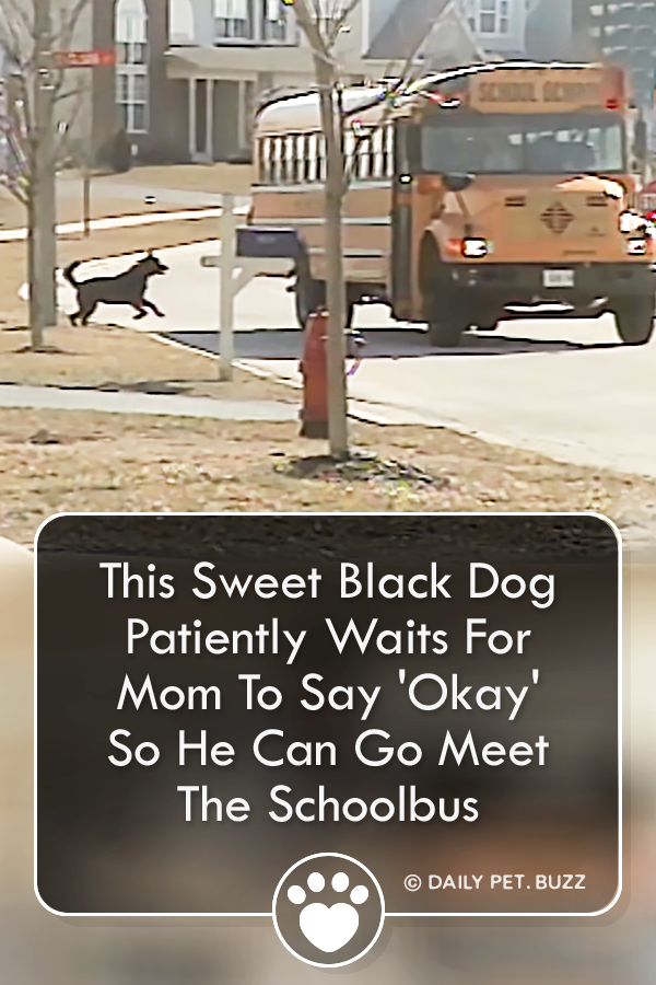 This Sweet Black Dog Patiently Waits For Mom To Say \'Okay\' So He Can Go Meet The Schoolbus