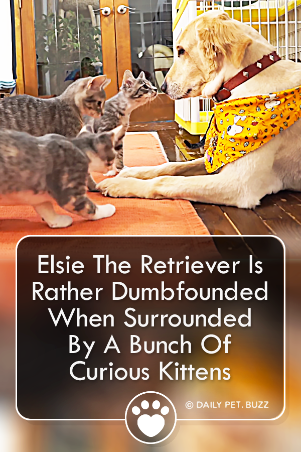 Elsie The Retriever Is Rather Dumbfounded When Surrounded By A Bunch Of Curious Kittens