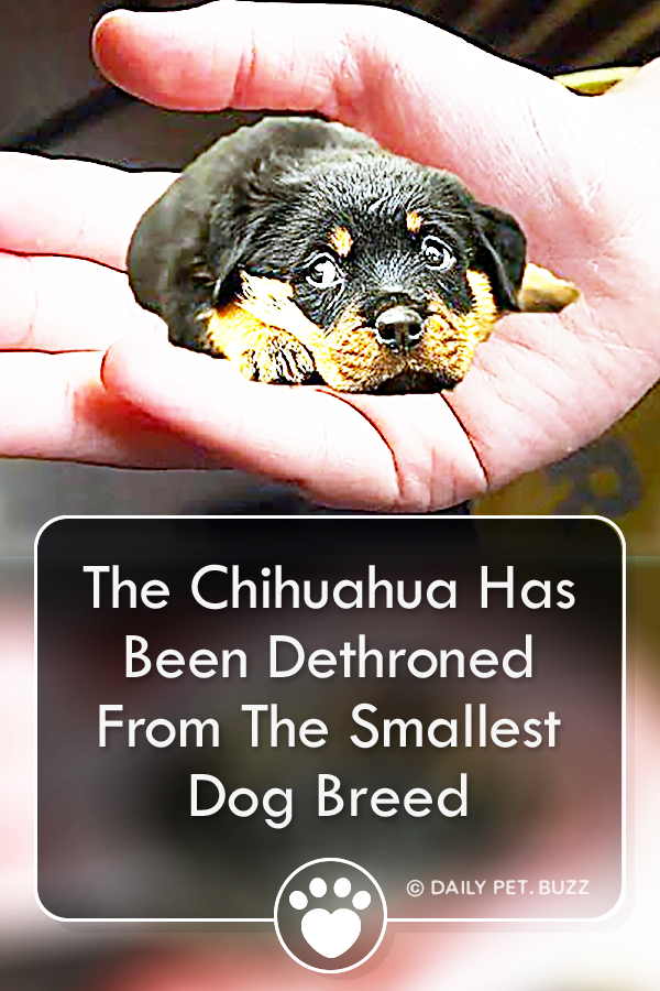 The Chihuahua Has Been Dethroned From The Smallest Dog Breed