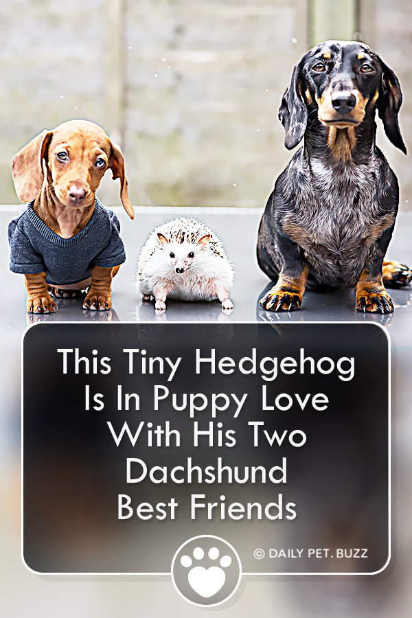 This Tiny Hedgehog Is In Puppy Love With His Two Dachshund Best Friends