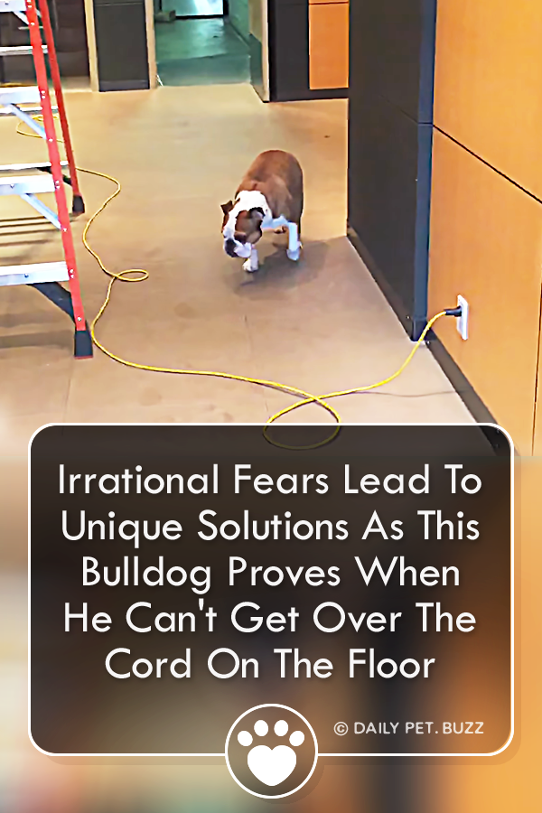 Irrational Fears Lead To Unique Solutions As This Bulldog Proves When He Can\'t Get Over The Cord On The Floor