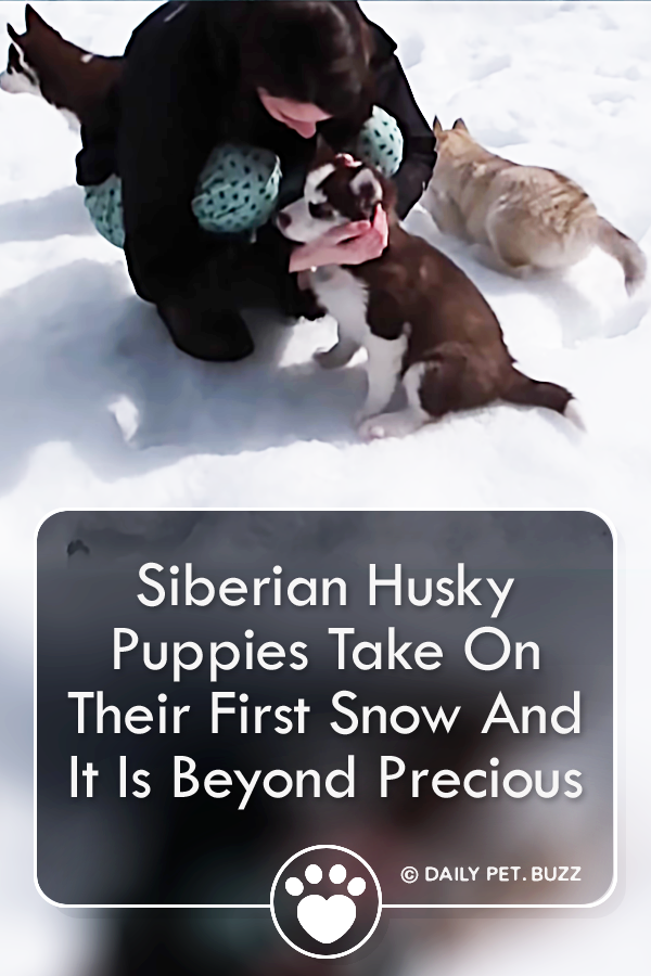 Siberian Husky Puppies Take On Their First Snow And It Is Beyond Precious