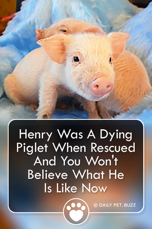Henry Was A Dying Piglet When Rescued And You Won\'t Believe What He Is Like Now