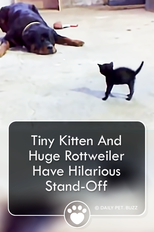 Tiny Kitten And Huge Rottweiler Have Hilarious Stand-Off