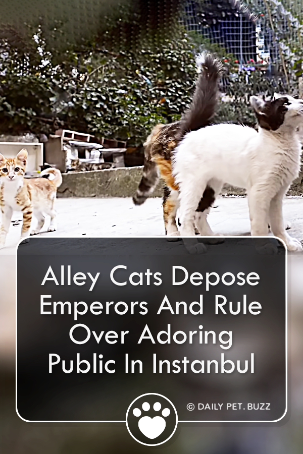 Alley Cats Depose Emperors And Rule Over Adoring Public In Instanbul