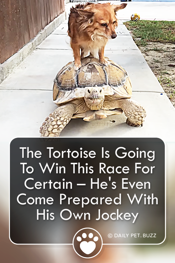 The Tortoise Is Going To Win This Race For Certain – He\'s Even Come Prepared With His Own Jockey