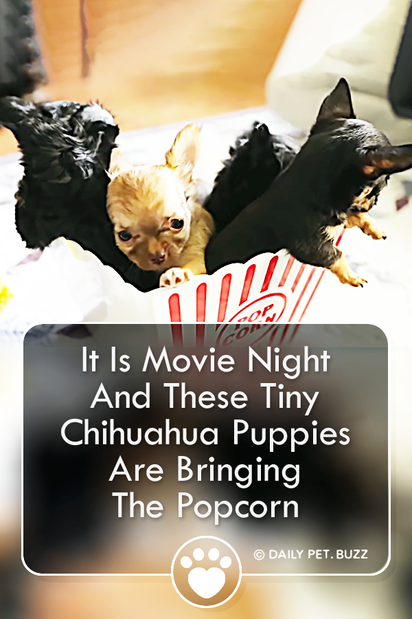 It Is Movie Night And These Tiny Chihuahua Puppies Are Bringing The Popcorn