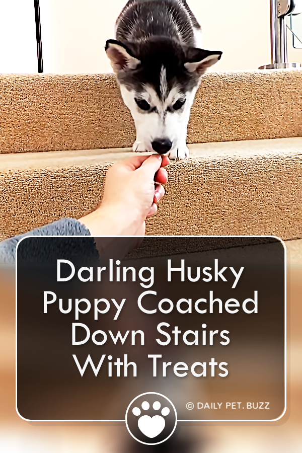Darling Husky Puppy Coached Down Stairs With Treats