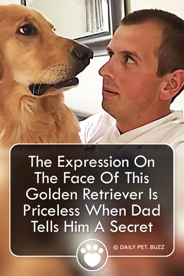 The Expression On The Face Of This Golden Retriever Is Priceless When Dad Tells Him A Secret