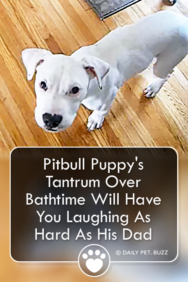 Pitbull Puppy\'s Tantrum Over Bathtime Will Have You Laughing As Hard As His Dad