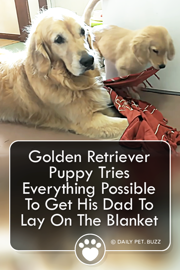 Golden Retriever Puppy Tries Everything Possible To Get His Dad To Lay On The Blanket