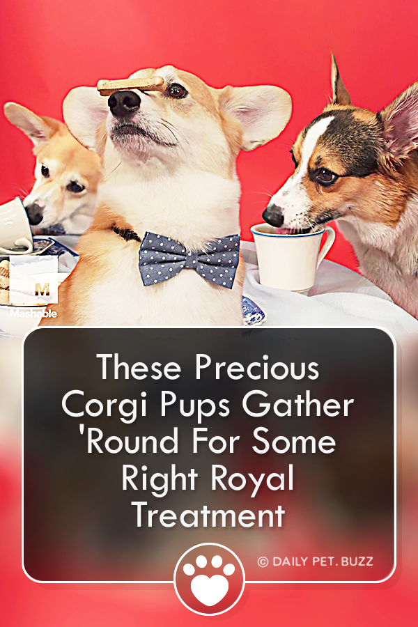 These Precious Corgi Pups Gather \'Round For Some Right Royal Treatment