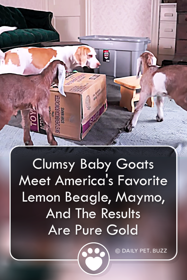 Clumsy Baby Goats Meet America\'s Favorite Lemon Beagle, Maymo, And The Results Are Pure Gold