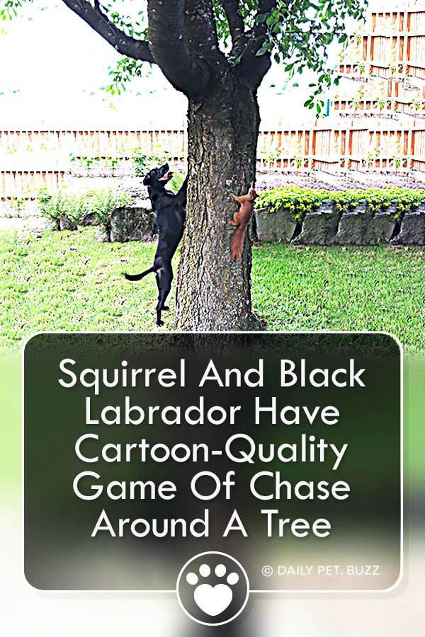 Squirrel And Black Labrador Have Cartoon-Quality Game Of Chase Around A Tree