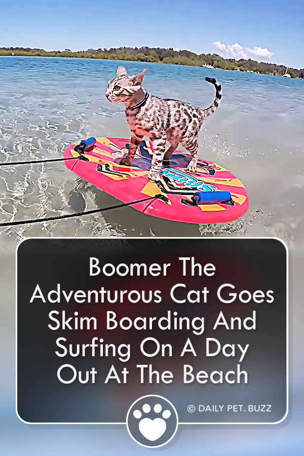 Boomer The Adventurous Cat Goes Skim Boarding And Surfing On A Day Out At The Beach
