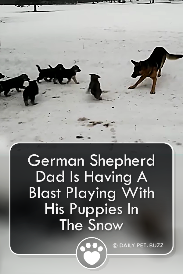 German Shepherd Dad Is Having A Blast Playing With His Puppies In The Snow