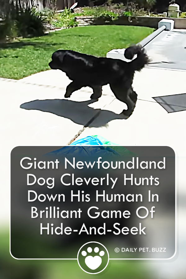 Giant Newfoundland Dog Cleverly Hunts Down His Human In Brilliant Game Of Hide-And-Seek